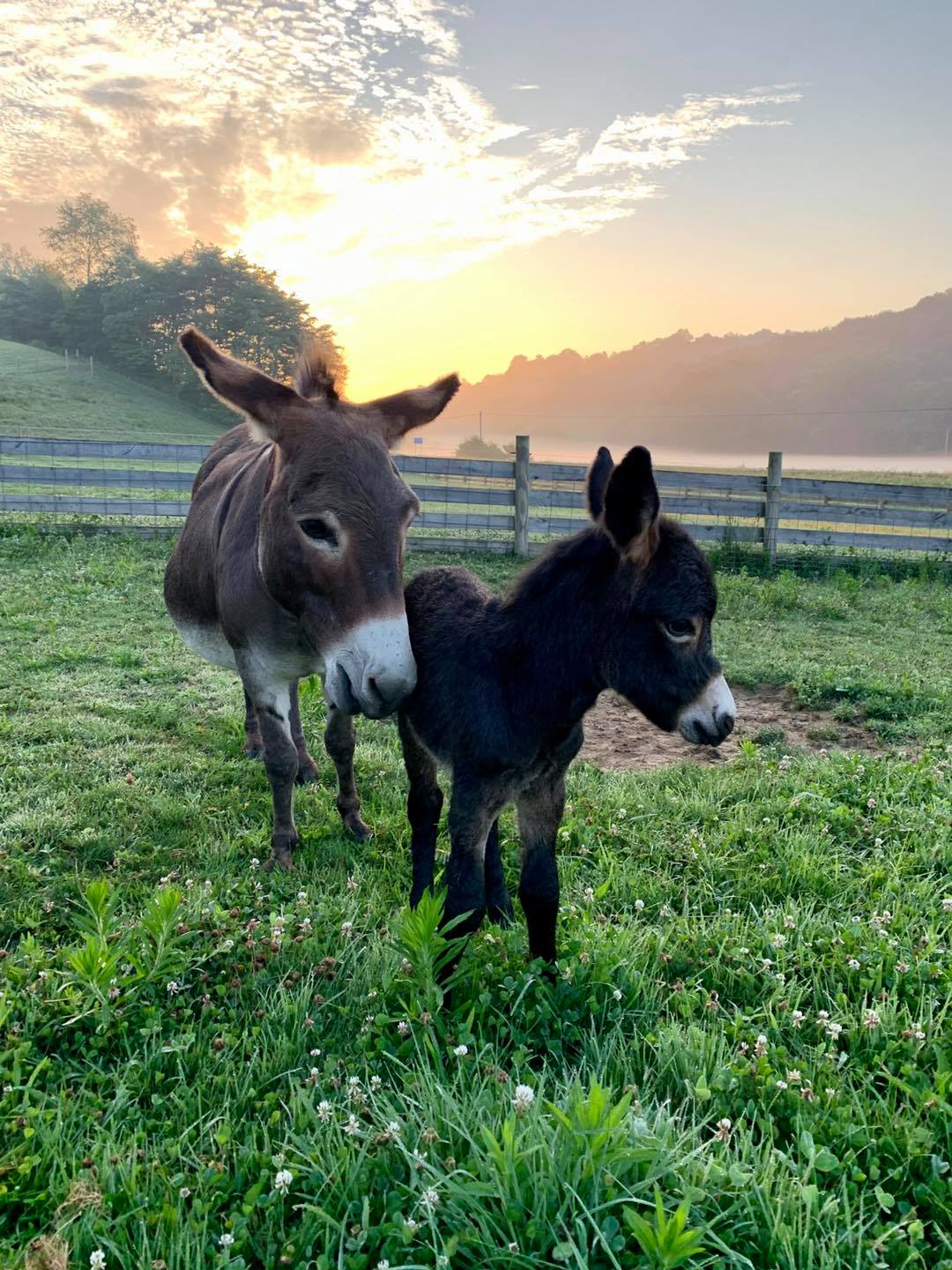 Mom donkey Cindy with new baby Zeke