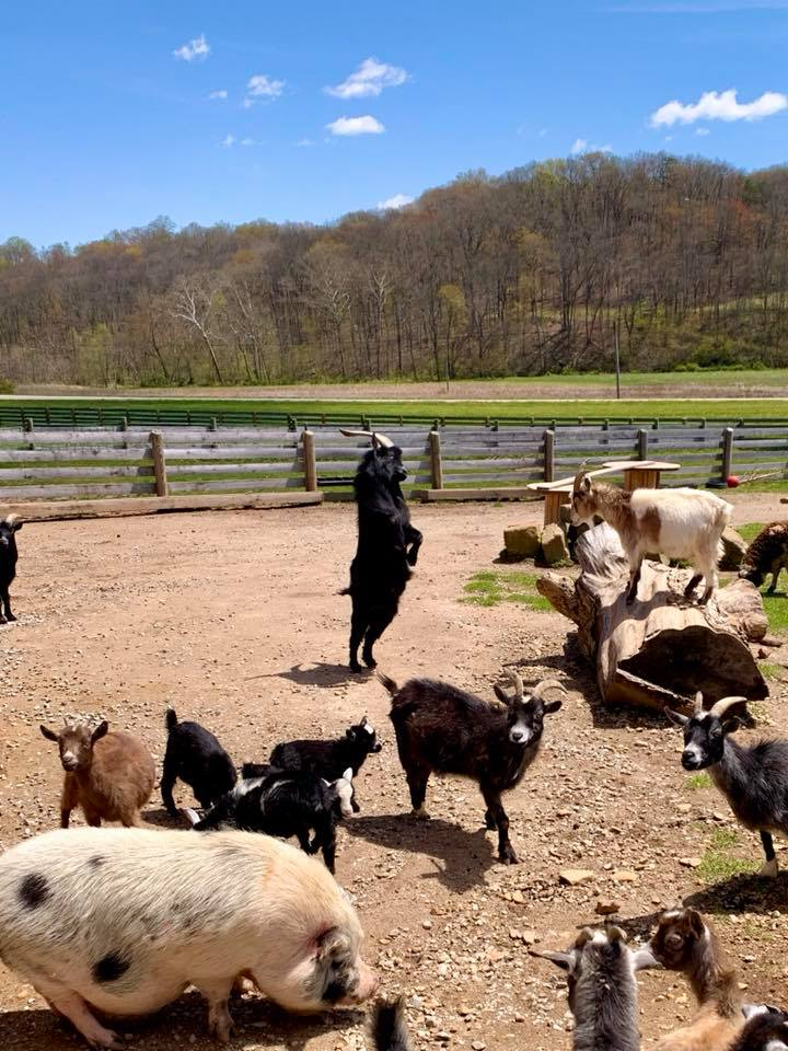 goats playing at farm