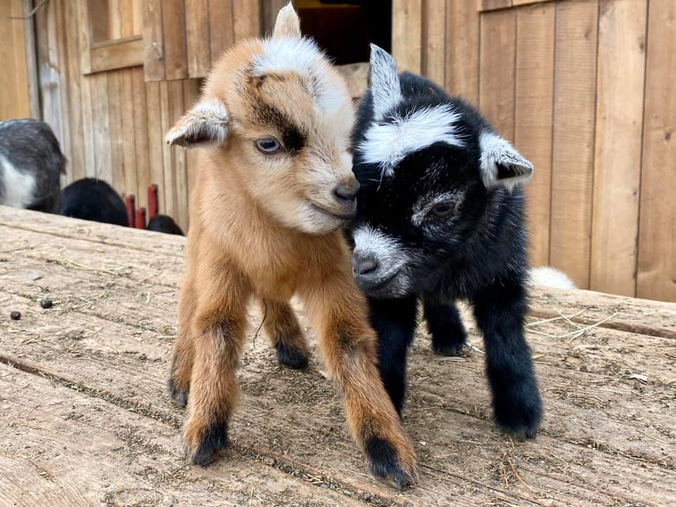 2 baby goats on table