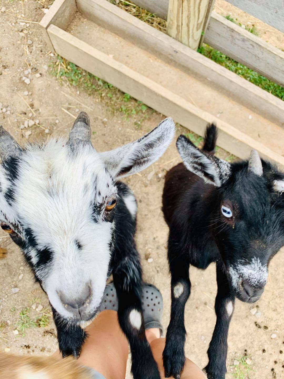 Hansel and Gretel goats